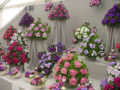 glasgow flower show pictures photographs